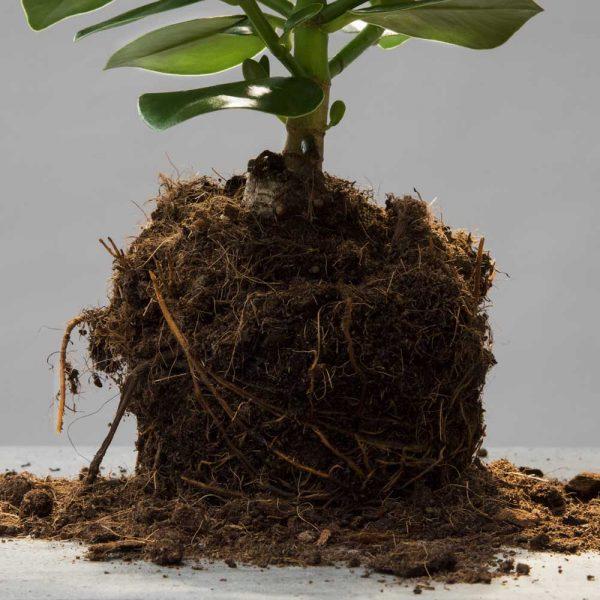 höfer-erdpflanzen